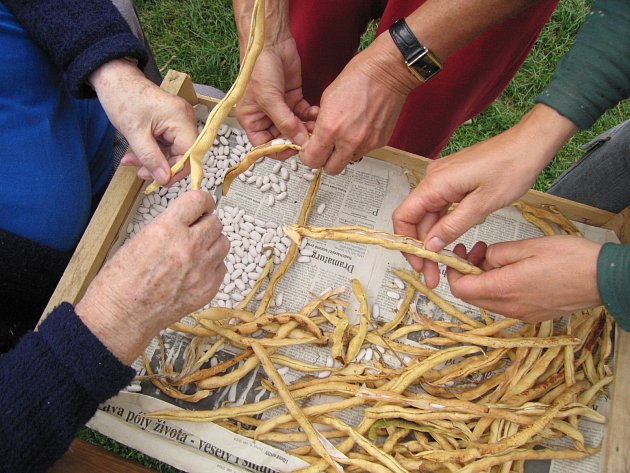 Ruční loupání fazolí je příležitostí k setkání různých generací