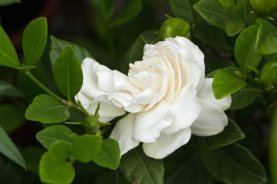 Gardenie, africké fialky nebo bramboříky mohou dočasně okno na sever zpestřit.