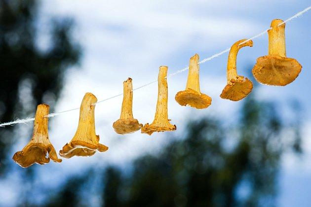 Drobnější houby můžeme sušit navlečené na niti.
