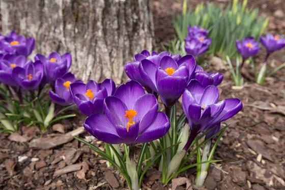 Krokusy, jarní ozdoba zahrady