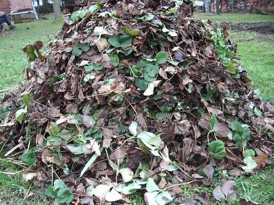 Odstraněné staré listí jahodníků