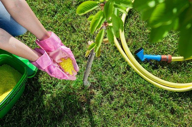 Mladé třešně a višně můžete hnojit i třikrát ročně.