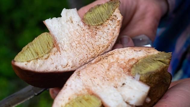 Červivá houba