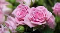 Růžové růže jsou klasika. Něžné, okouzlující, ryzí