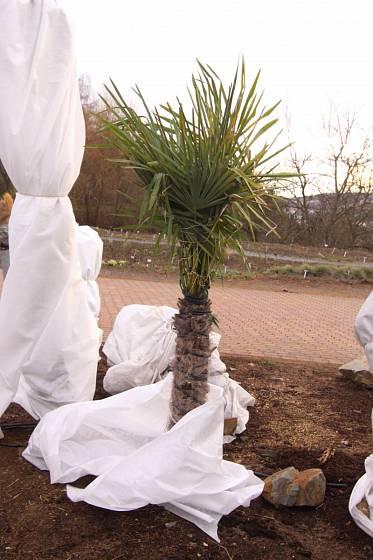 Zimní ochrana palmy Trachycarpus fortunei