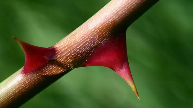 Botanici u růží hovoří o ostnech, nikoli trnech.