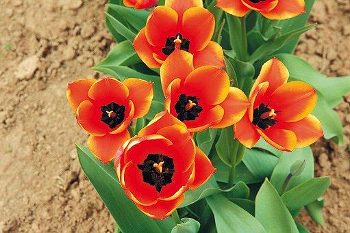 tulipány Scarborough