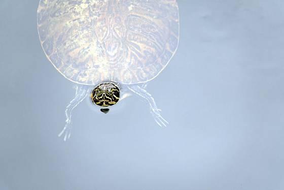 Vodní želvy jsou pod hladinou jako doma, ale dýchat musí nad ní