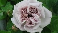 Aschermittwoch (Kordes, Německo, 1955). Hustě plný květ o průměru asi 9 cm je světle fialově našedlý, voní; výška růže 2,5 m. Jednou kvetoucí