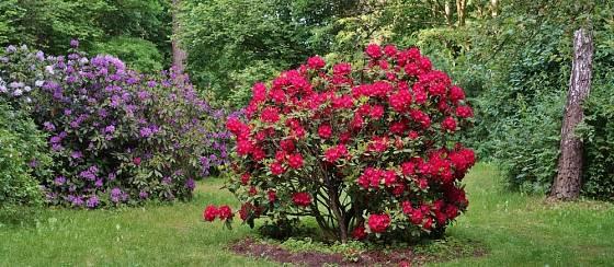 Řez pomůže udržet rododendron košatý