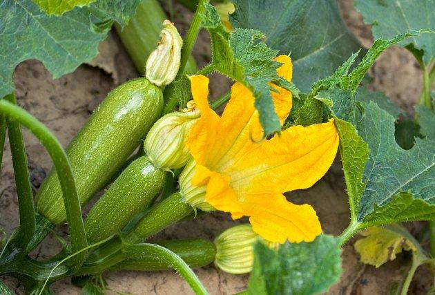 Jediná rostlina cukety nadělí mnoho plodů, pokud je sklízíme včas