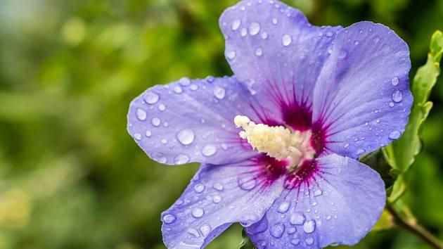 Ibišek syrský - modrofialový květ s vínovým středem.