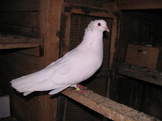 Montaubánci jsou holubi velcí, ale elegantní