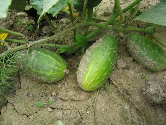 K cizosprašným druhům zeleniny patří také okurky