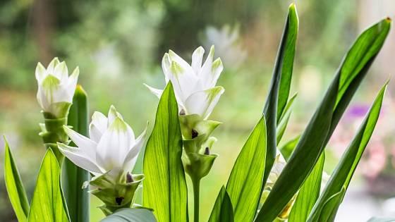 Kurkuma nabídne buďto růžové nebo bílé květy.