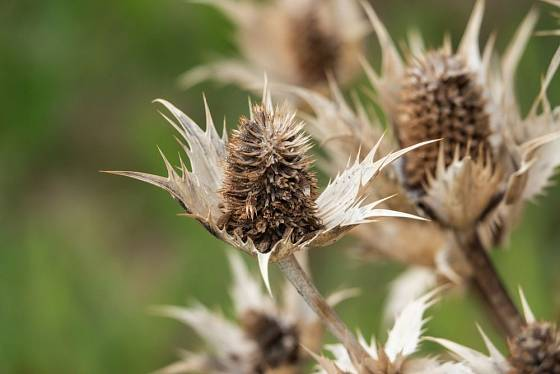 Atraktivní jsou i suché nadzemní části máčky obrovské, které v zimě vytrvávají