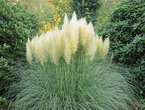 Pampová tráva je velmi atraktivní, ale poměně náročný druh
