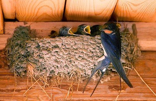 Výsledek obrázku pro hnízdo vlaštovek