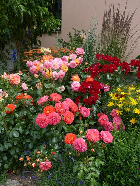 Výsadba růží a trvalek