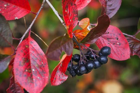 listy aronie se na podzim zbarví do syté červeně