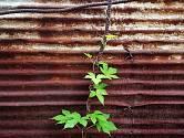 Jednoletý chmel japonský se pěstuje jako okrasná popínavá rostlina.