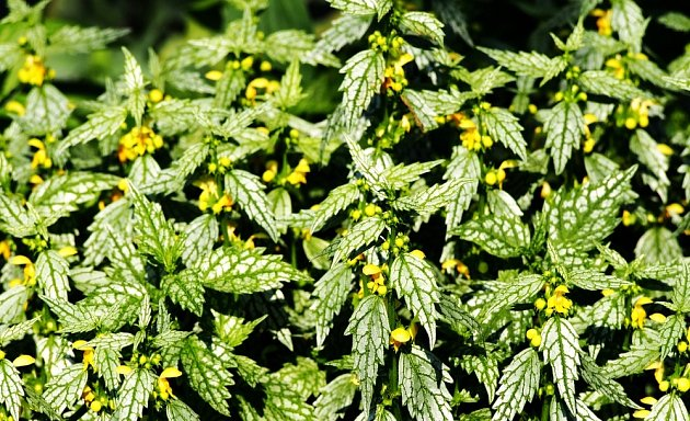 hluchavka pitulník, odrůda Variegatum