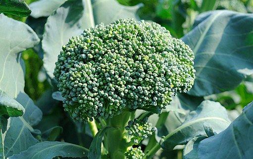květáková brokolice