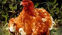 kvočna s kuřaty