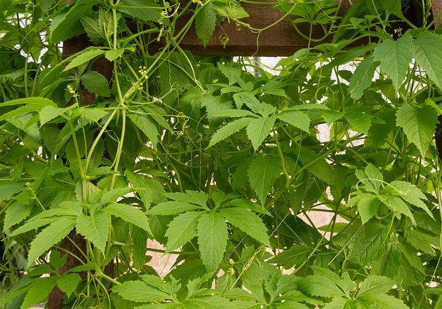 ačokča, Cyclanthera čili papriková okurka, je pohledná popínavá rostlina
