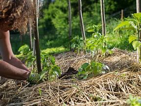 Půdu mezi sazenicemi paprik i další zeleniny se vyplatí mulčovat