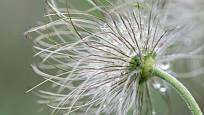 Semena koniklece dozrávají jako ochmýřené nažky