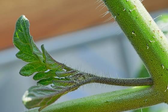 Pokud zálistek neodstraníme, začne bujně růst a zbytečně ubírá rostlině energii.