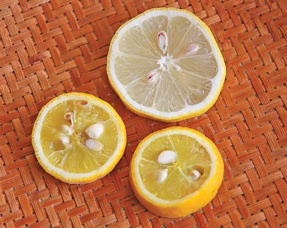 Řez plodem citronu a menšího citronečníku
