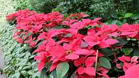 V teplých krajích je vánoční hvězda, Poinsettia, zahradní rostlinou.