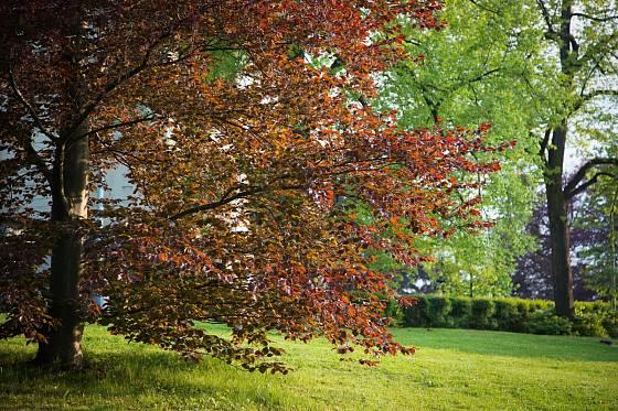 Okrasná varieta buku lesního může mít listy nevšedně zbarvené po celý rok, nejen na podzim