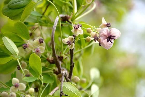 Akébie můžete pěstovat ve více odstínech květů