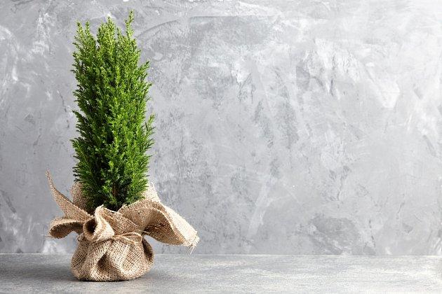 Cypřišek můžeme použít jako vánoční dekoraci s různými přízdobami.