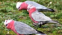 Kakadu růžový se živí rozmanitými semeny, které hledá i na zemi