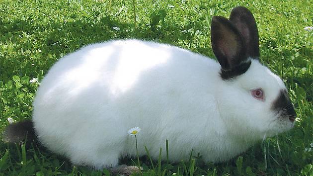 kalifornský králík