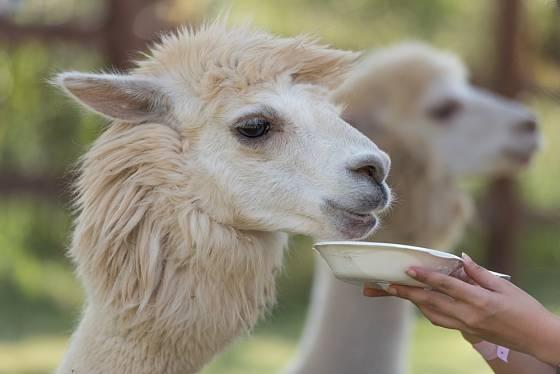 Vicugna pacos, neboli alpaka je domestikovaná lama.