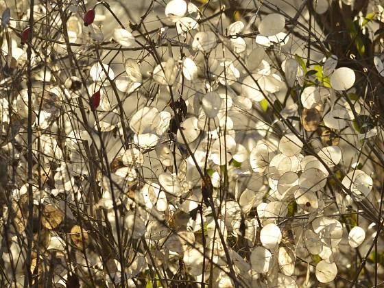 Plody měsíčnice roční (Lunaria annua) jsou velmi dekorativní na zahradě i v suché vazbě