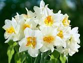 Narcisy jsou vyšlechtěny do nespočtu odrůd