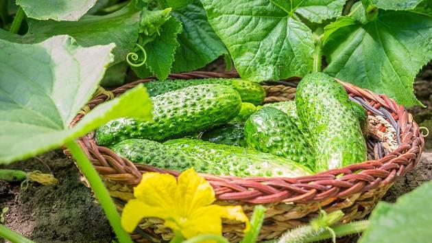 Okurky jsou náročné na půdu. Měla by být úrodná, sypká, mírně vlhká a zahřátá.