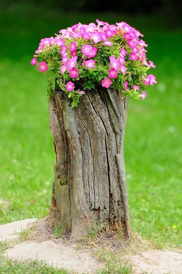 Vybírat můžete z velkého množství květin, které jsou vhodné pro osazení pařezu.