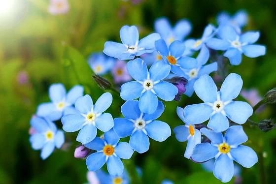Pomněnky vnesou na jarní zahradu výjimečnou, blankytnou barvu