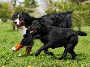 Bernský salašnický pes a labradorský retrívr