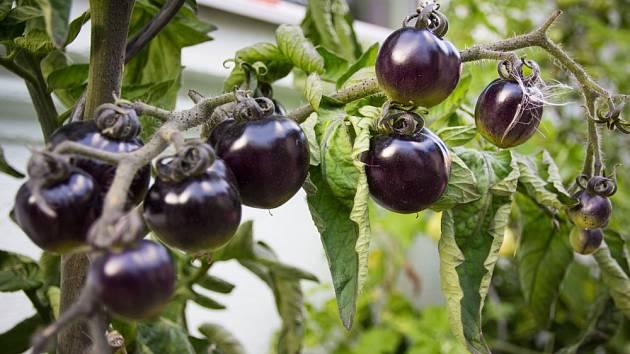 Divoké rajče (Solanum pimpinellifolium).