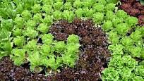 Zajímavě zbarvené odrůdy salátu upoutají na talíři i na záhoně