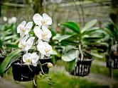 Orchidej (Phalaenopsis)