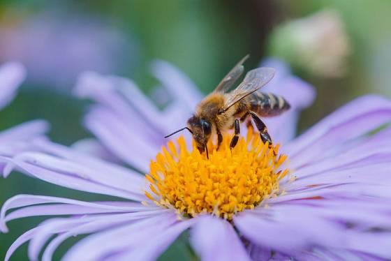 Hvězdnice poskytují potravu včelám a čmelákům v době, kdy už o ni bývá nouze